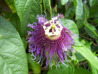 purple passion plant in Flowers, Trees & Plants