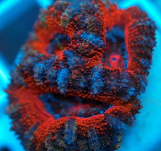 SC Ultra Almost Rainbow Aussie Acan Live Coral WYSIWYG