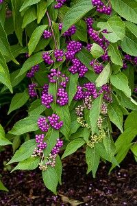 american beautyberry 20 seeds purple berry bird food