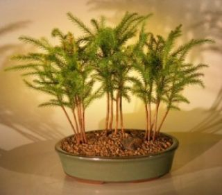 Live Norfolk Island Pine Bonsai Tree 3 Tree Forest w Ceramic Pot