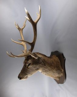 red deer stag head taxidermy image 3