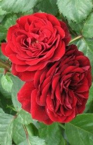 Rosa Lava Flow Lavaglut Dark Red Rose Own Root Plant